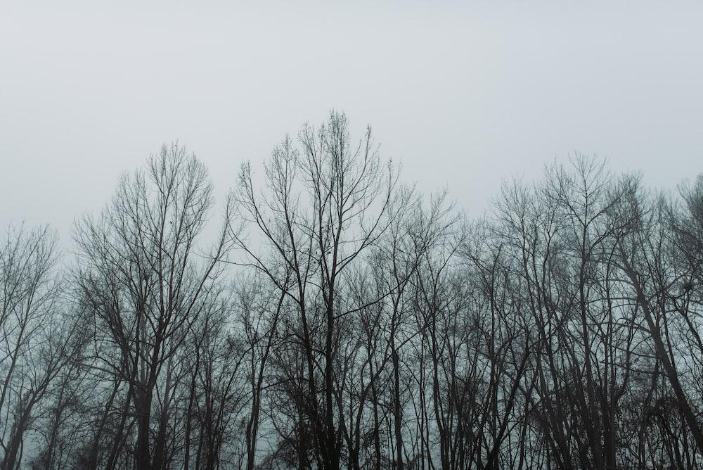 bare trees under grey sky