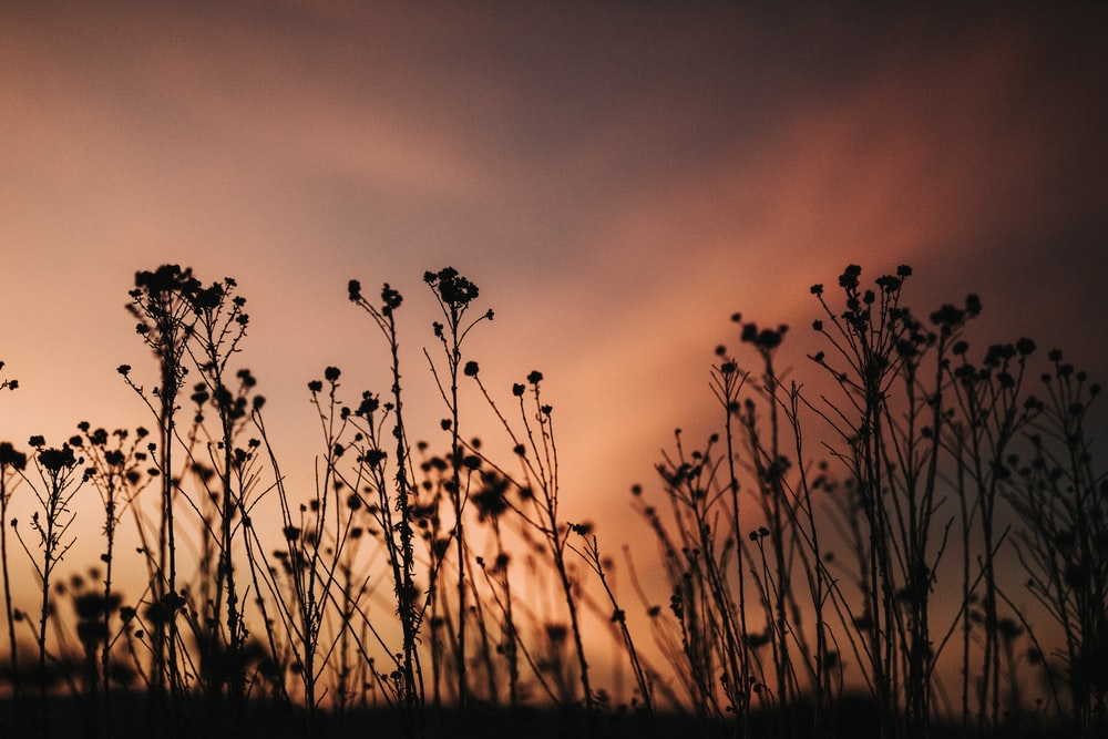 silhouette photo of flowers