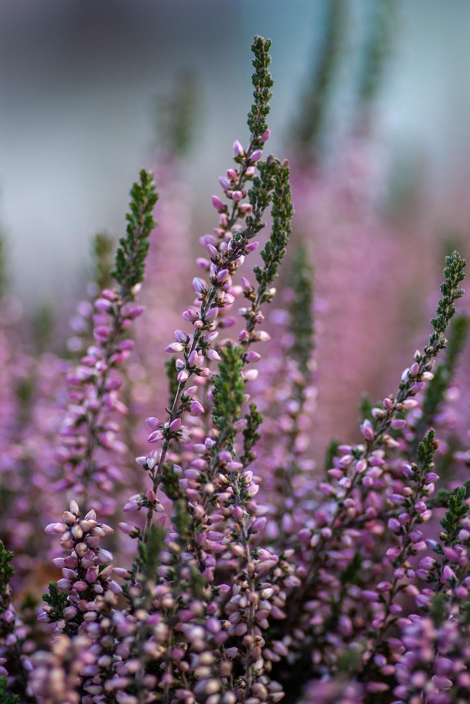 purple flower field photograph