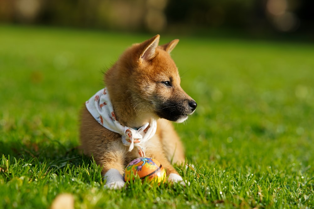 selective focus photography of brown puppy on green grass