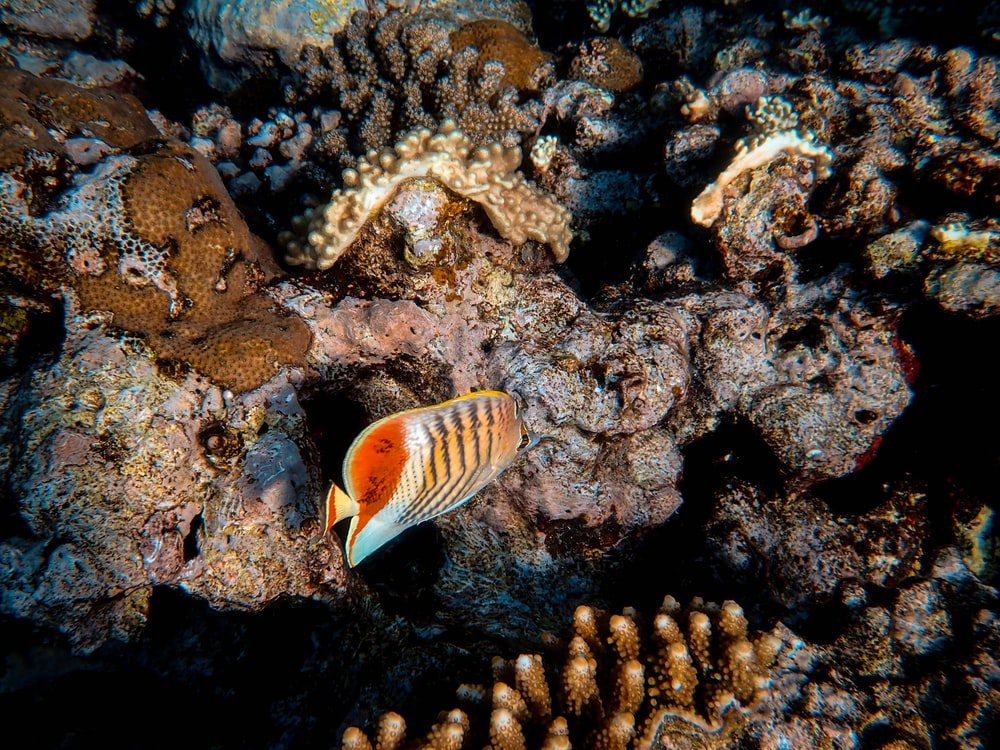 brown and black clown fish