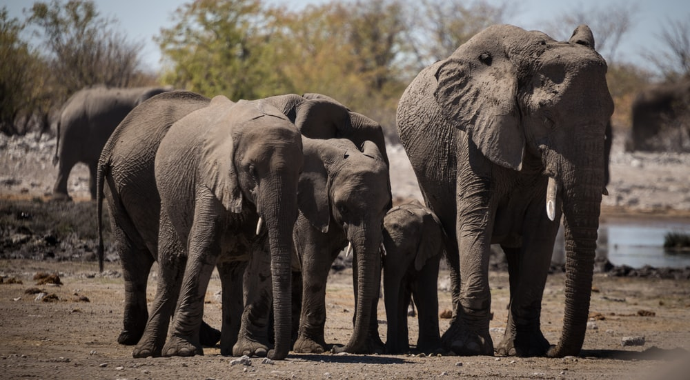 gray elephan