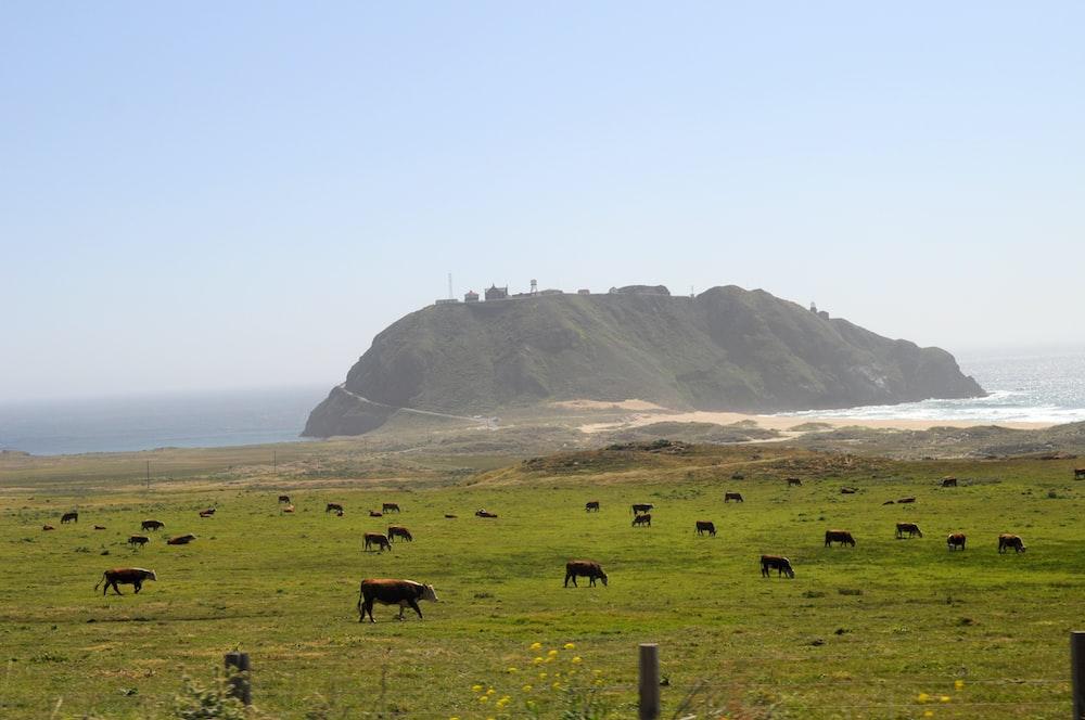 herd pf cattle on field