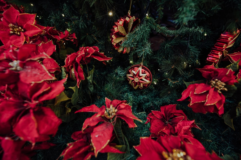 selective focus photography of red poinsettia plants beside green Christmas tree