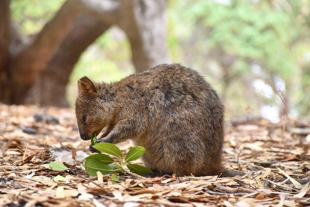 selective focus photography of brown rodent biting leaves