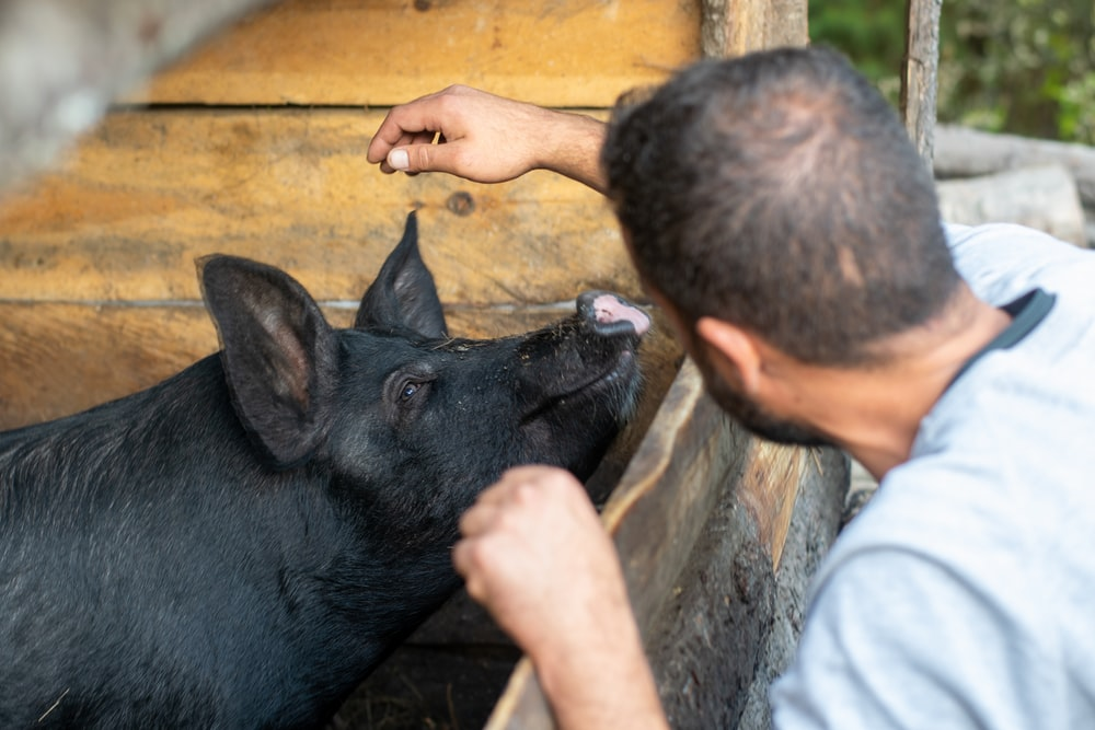 selective focus photography of man in front of black pig