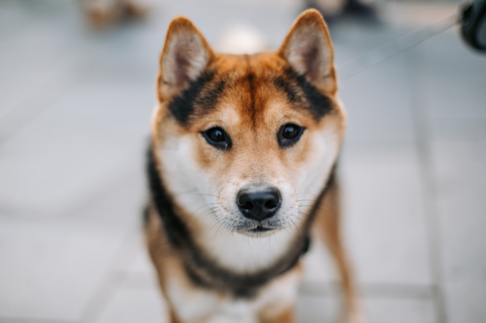 shallow focus photo of short-coated brown and white dog