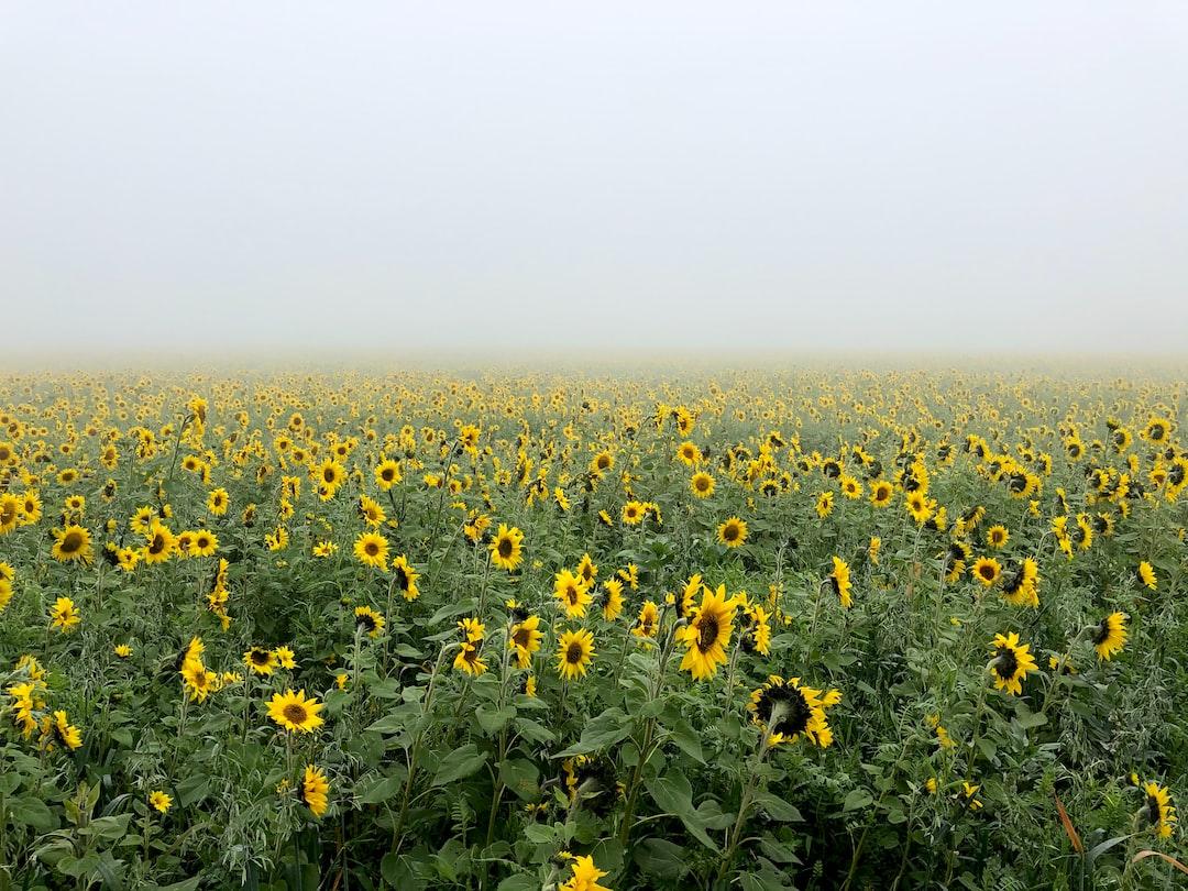 Misty yellow fields of Austria