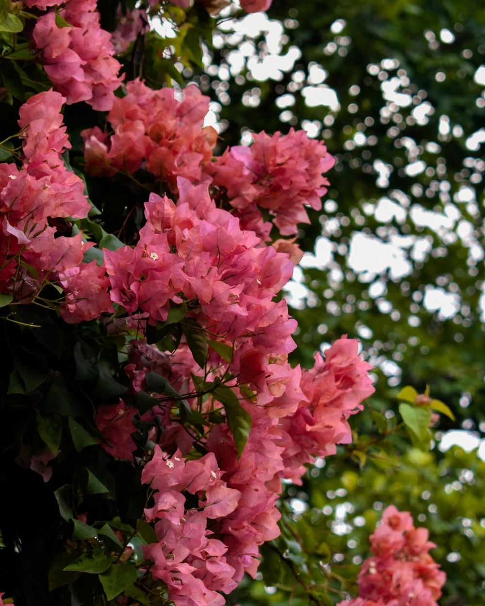 pink flowers with green leaves during day