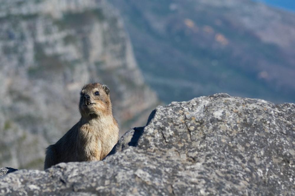 brown animal standing on gray rock