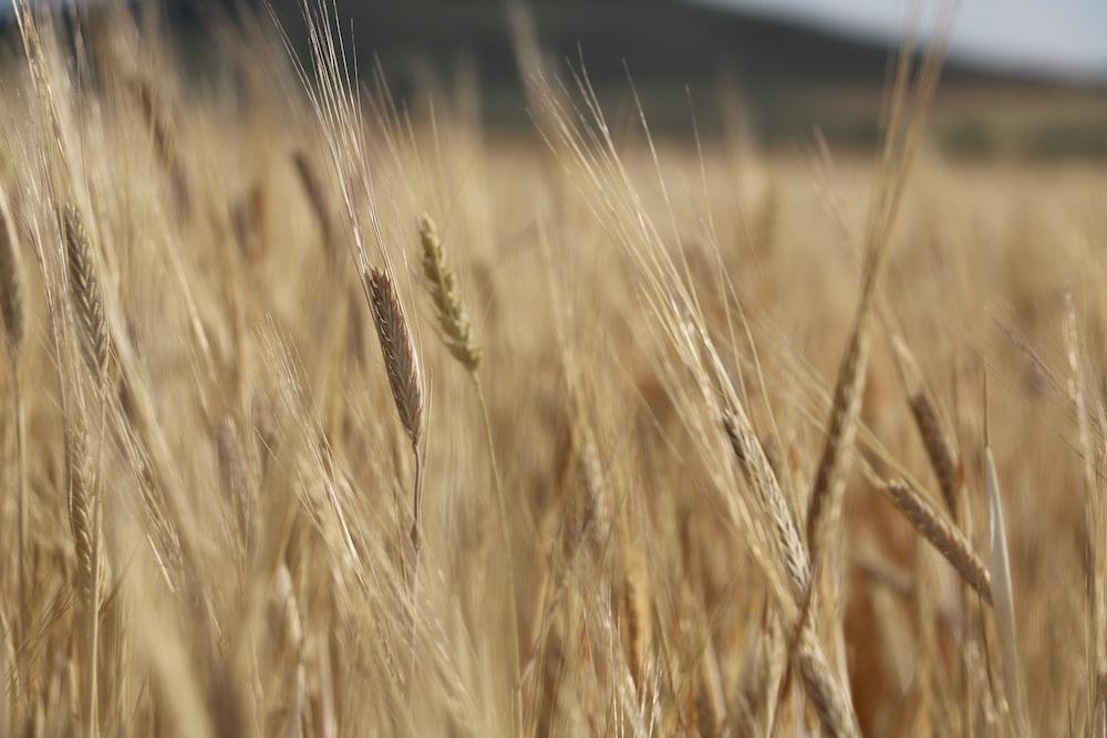 brown wheat field