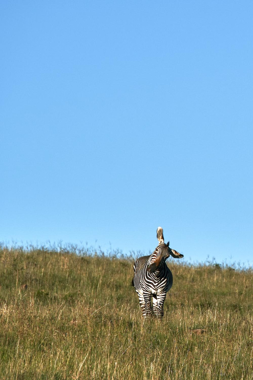 zebra on field