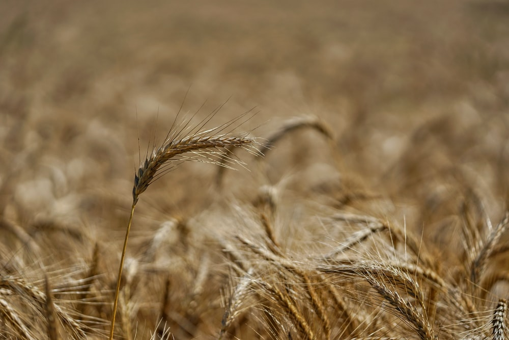 brown wheat