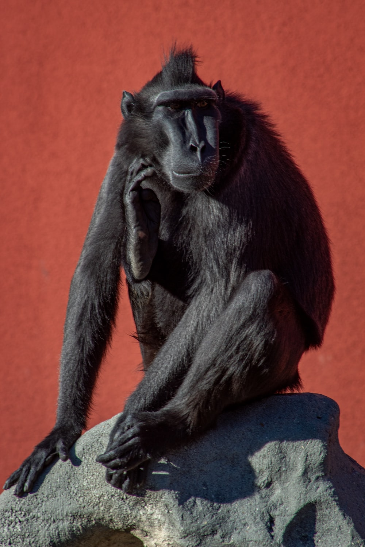 gray monkey