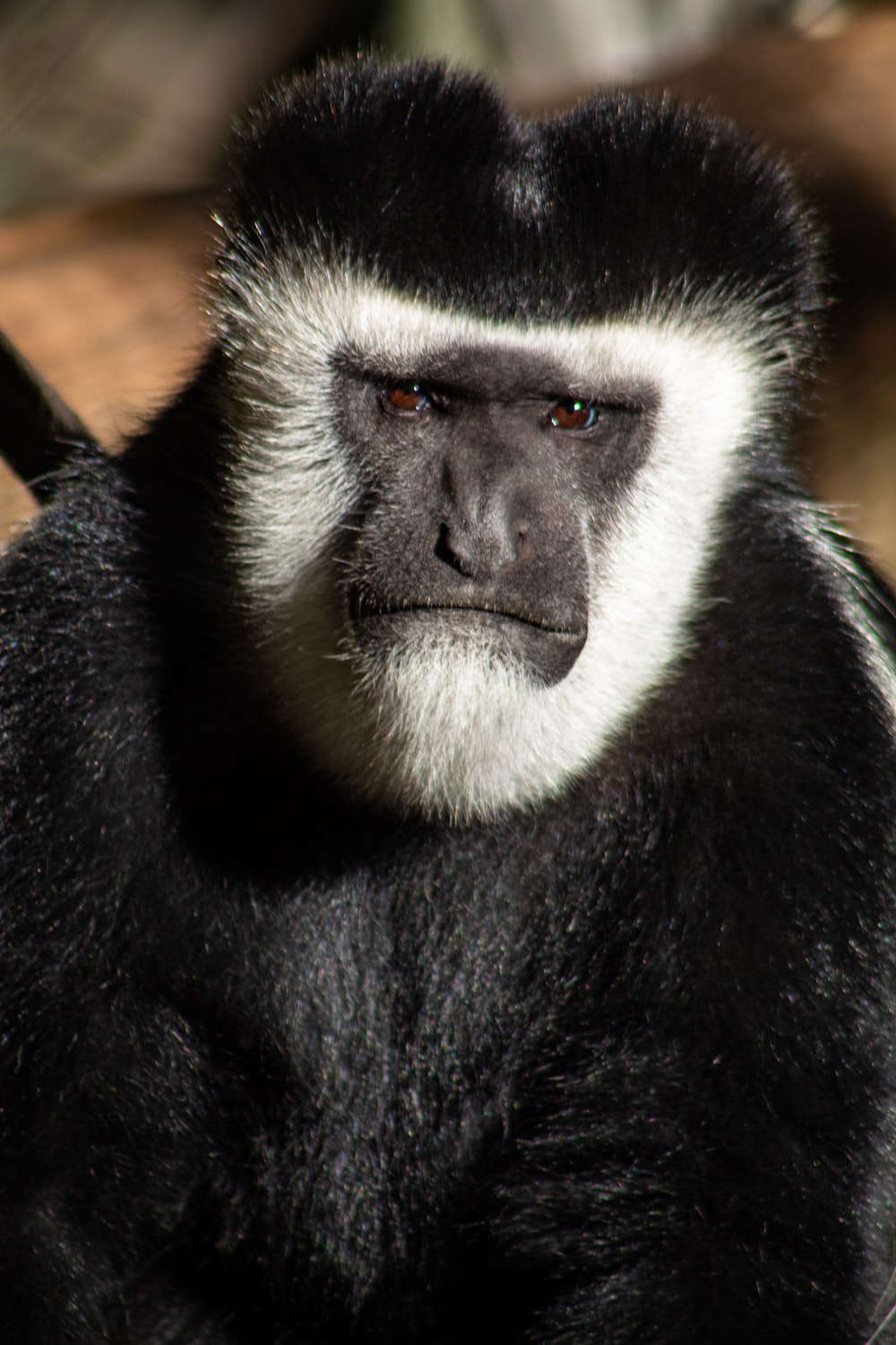 black and white macaque
