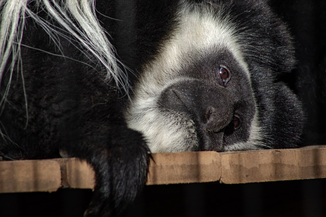A colobus monkey lays out while its friend picks through its hair at the Memphis Zoo.