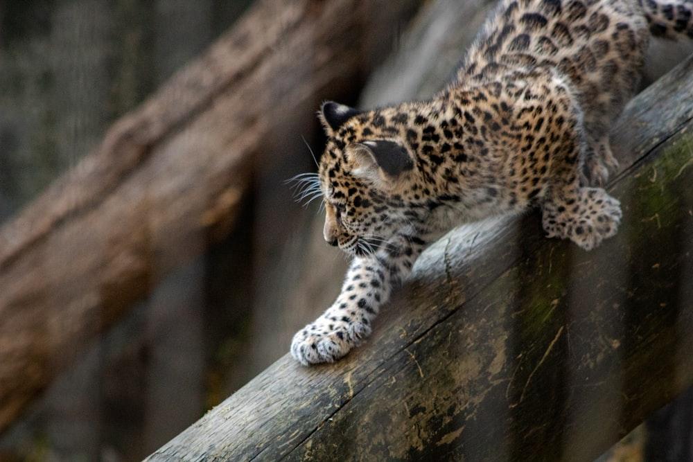 brown leopard cub