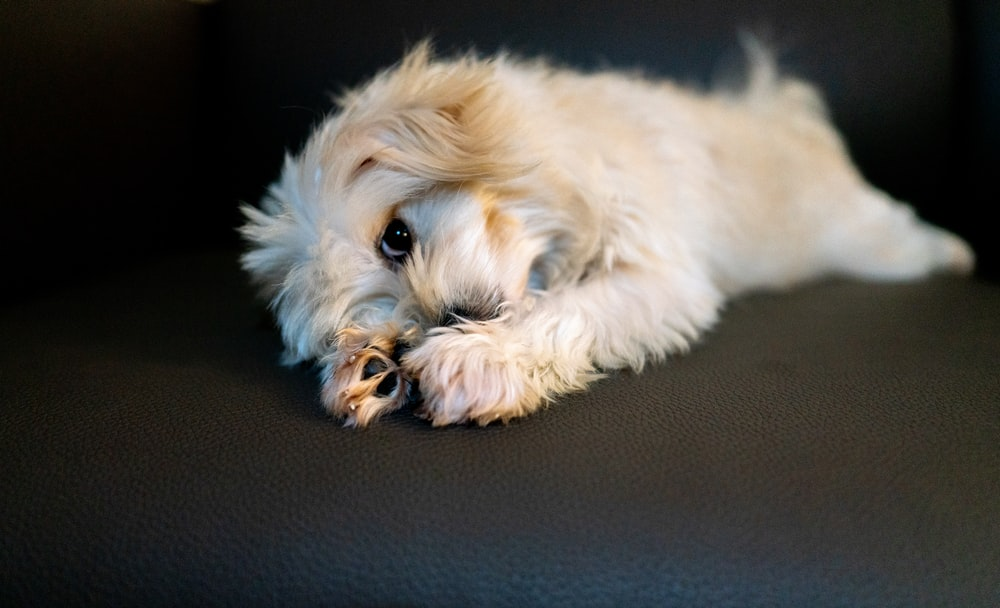 long-coated white and brown dog lying on floor