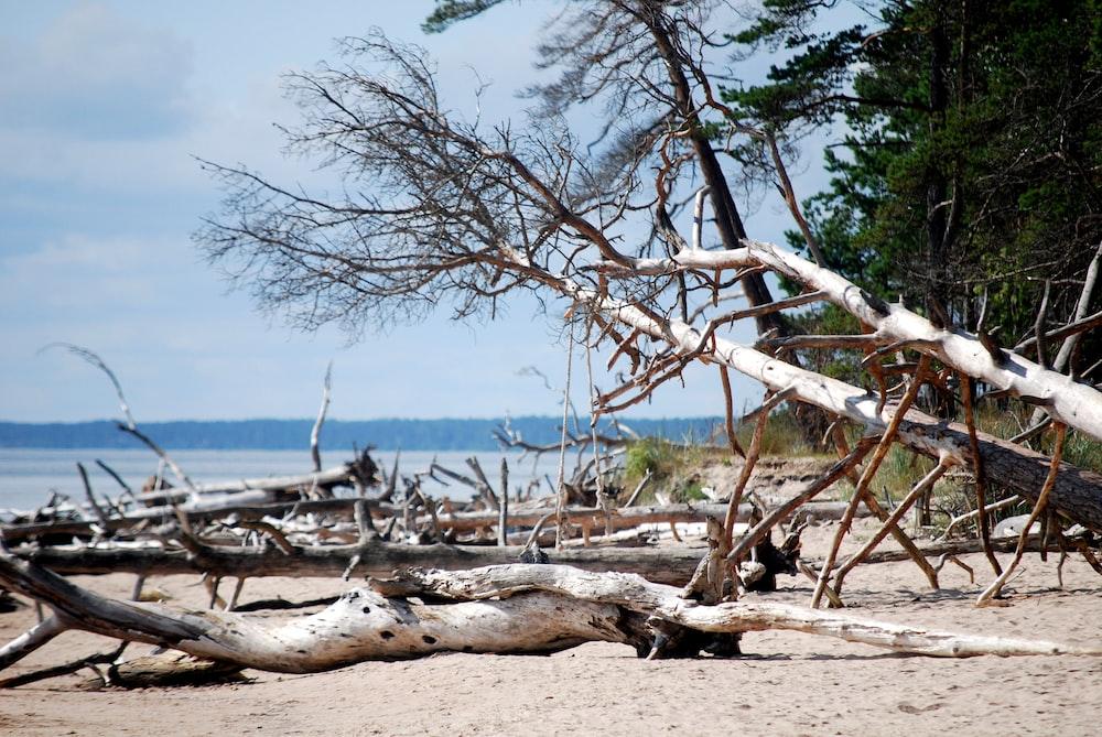 drift trees on sand near sea