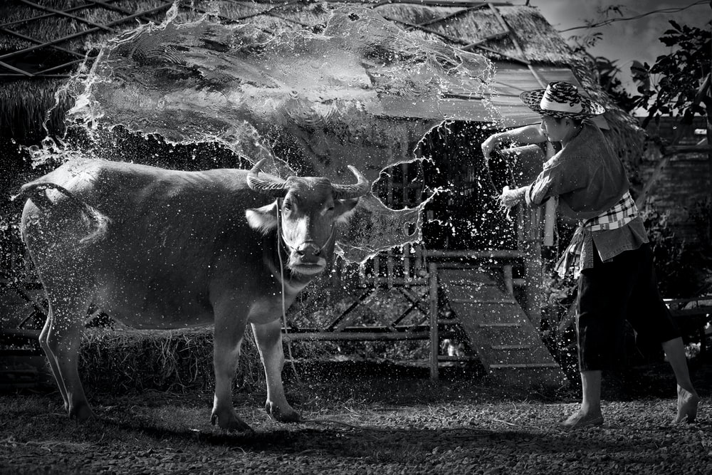 grayscale photography of cow