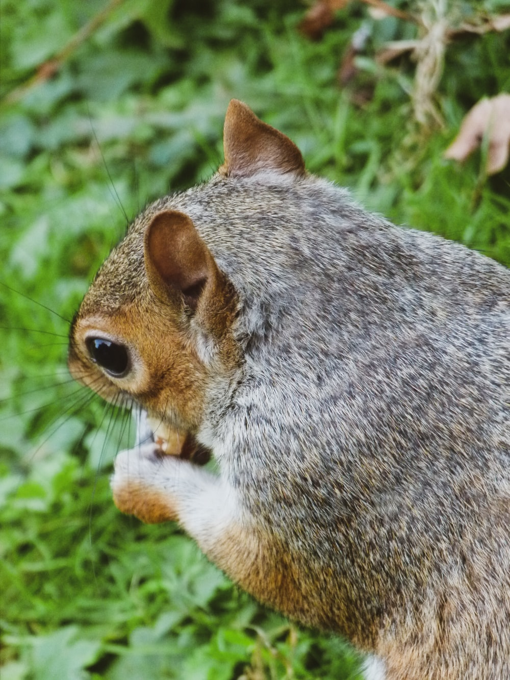macro photography of brown squirrel