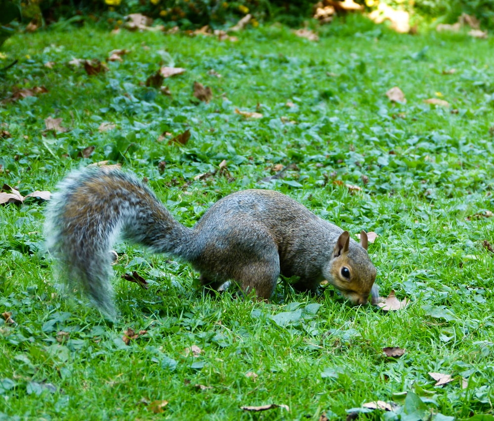gray and brown squirrel on green field