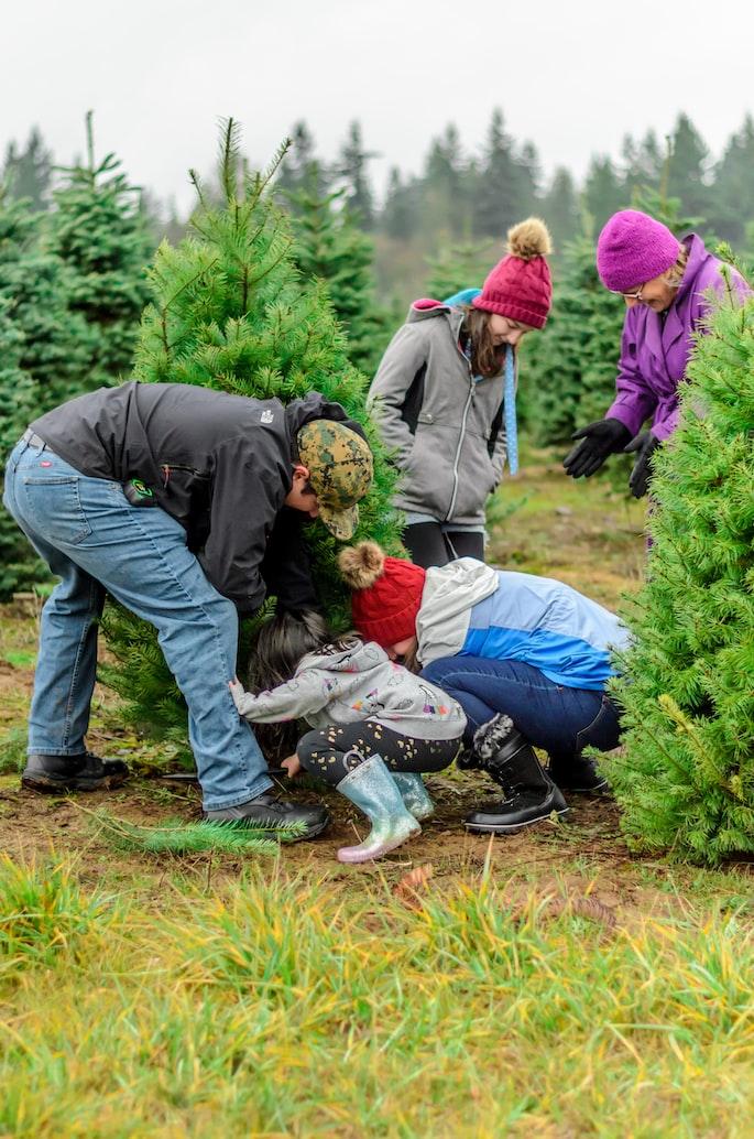 buying christmas tree in farm