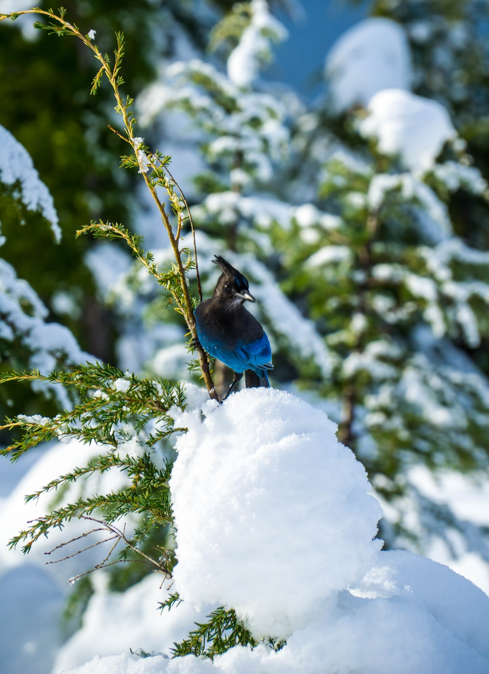 selective focus photography of blue and black bird on snow
