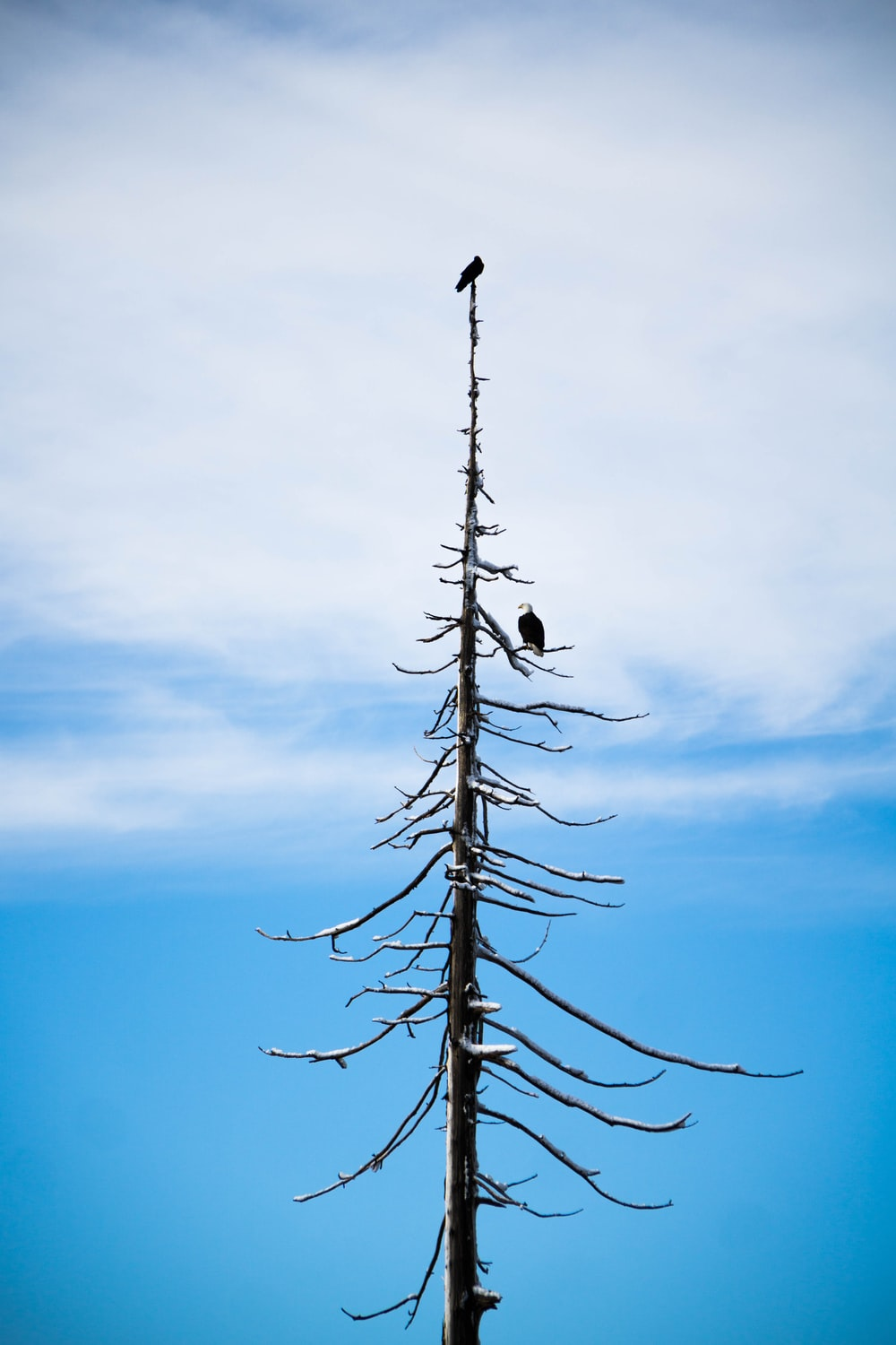 bald eagle on bare tree under white and blue sky