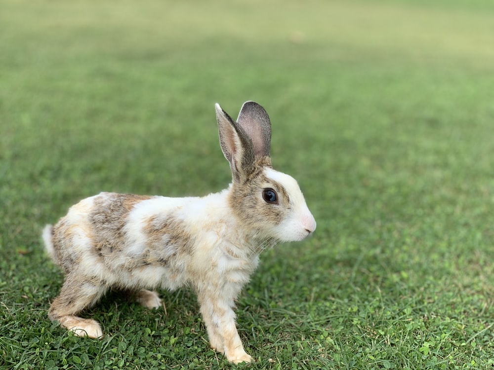 gray and white rabbit on grass