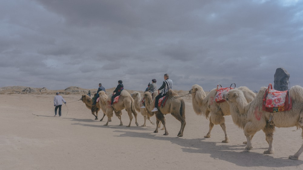 people riding on camels