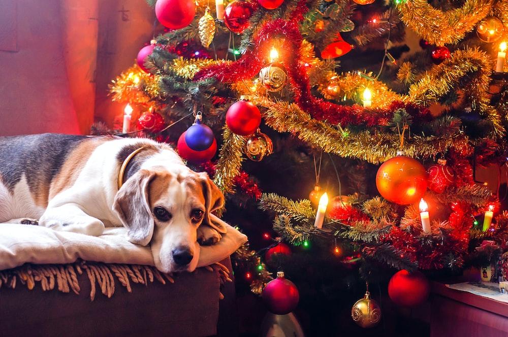tricolor beagle lying next to Christmas tree