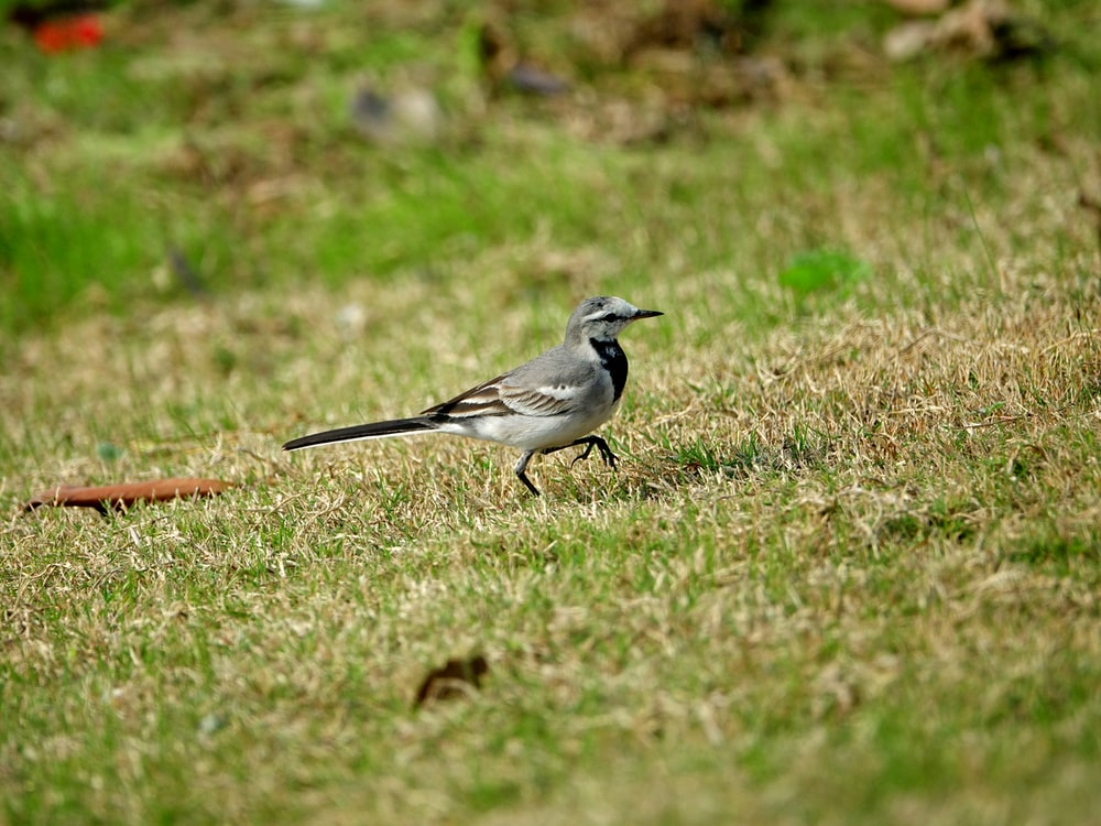 small gray bird on grass