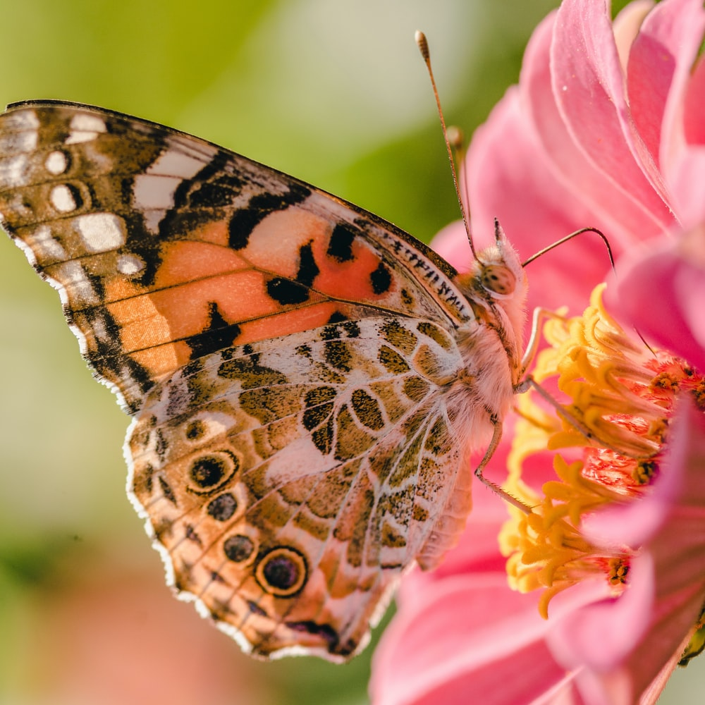 orange butterfly perching on pink flower
