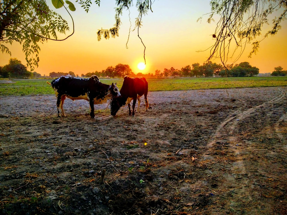 cattle under tree during sunset