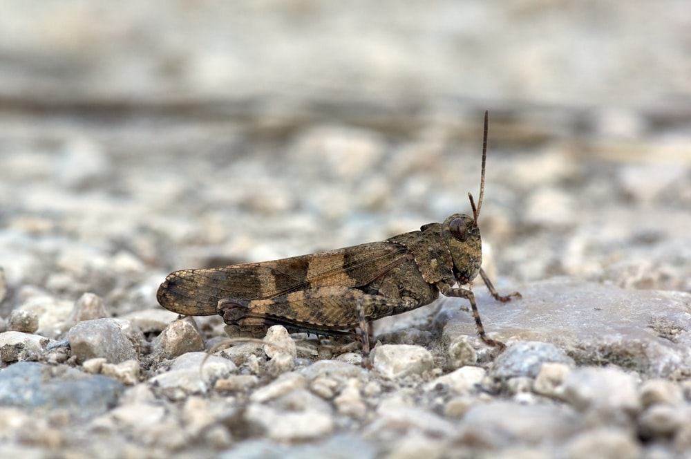 brown and gray grasshopper on stones