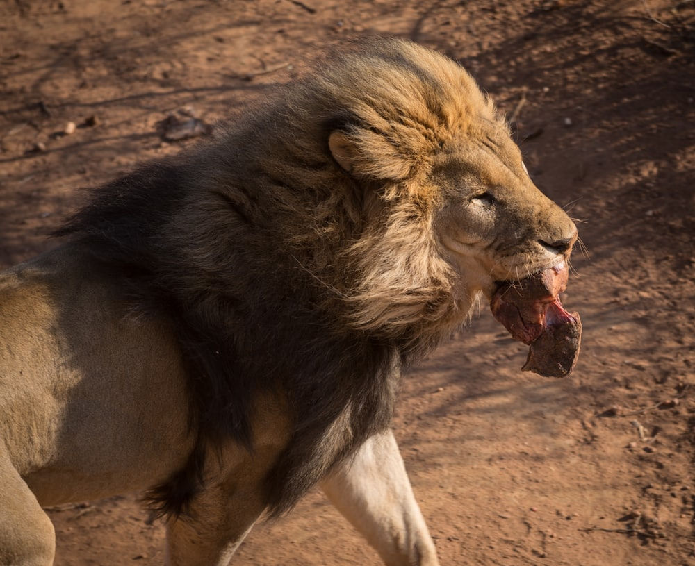 adult lion with meat hanging from it's mouth