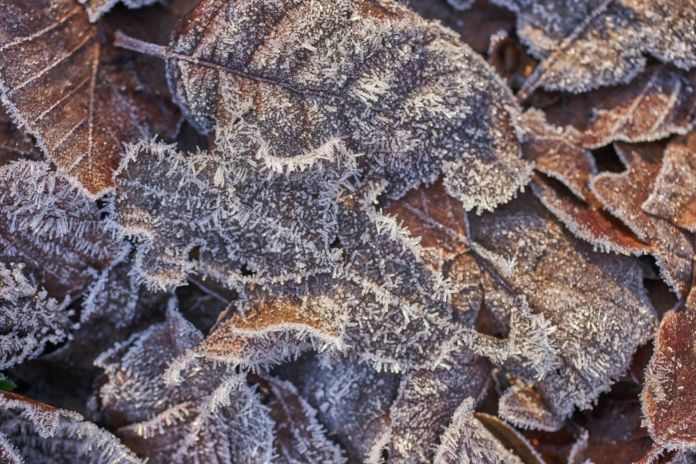 brown leaves covered by snow ice
