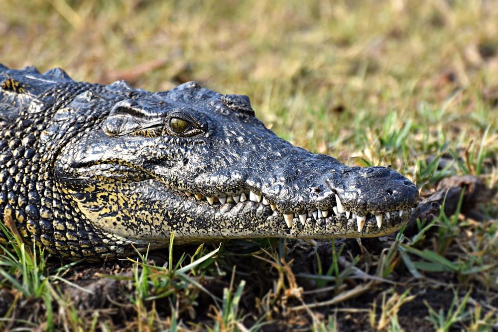grey crocodile photograph