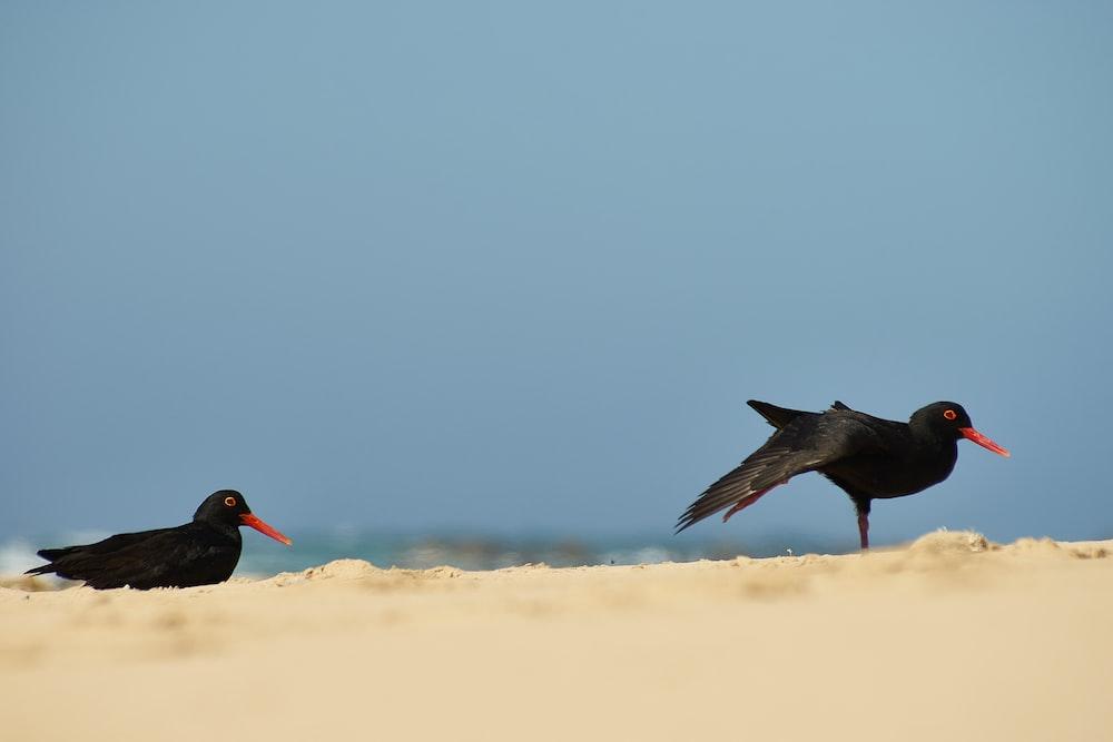 two black birds photograph