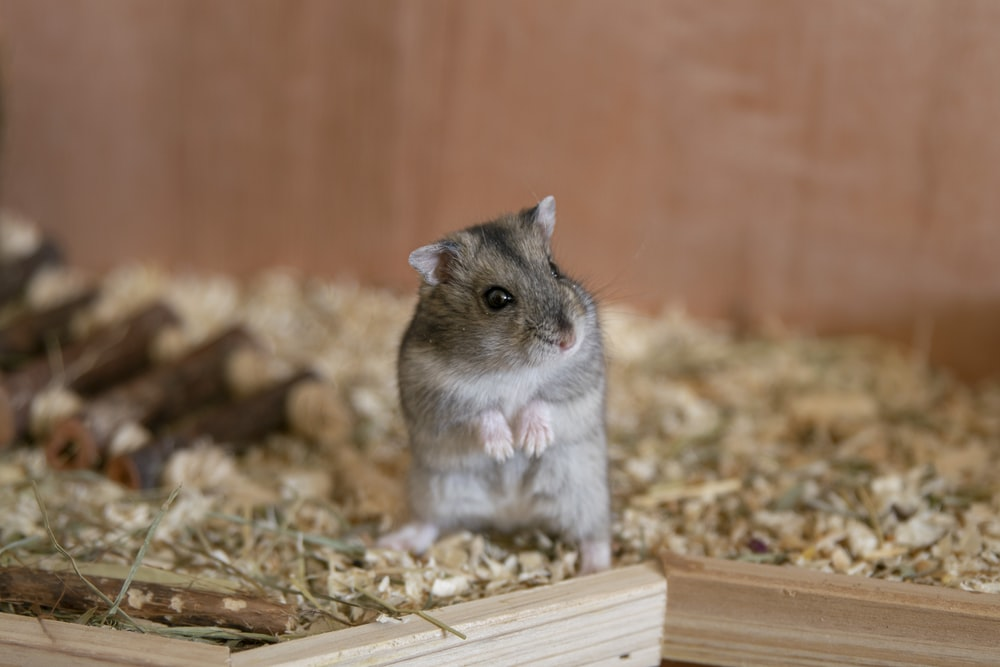 selective focus photography of gray rodent inside cage