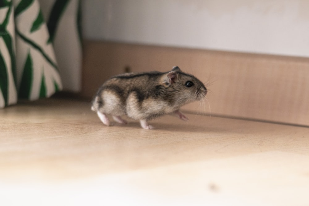 hamster on wooden surface