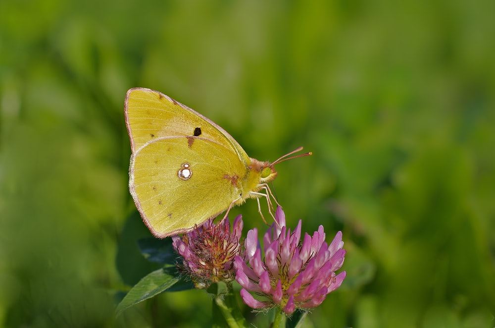 Colias hyale butterfly on purple cluster flower