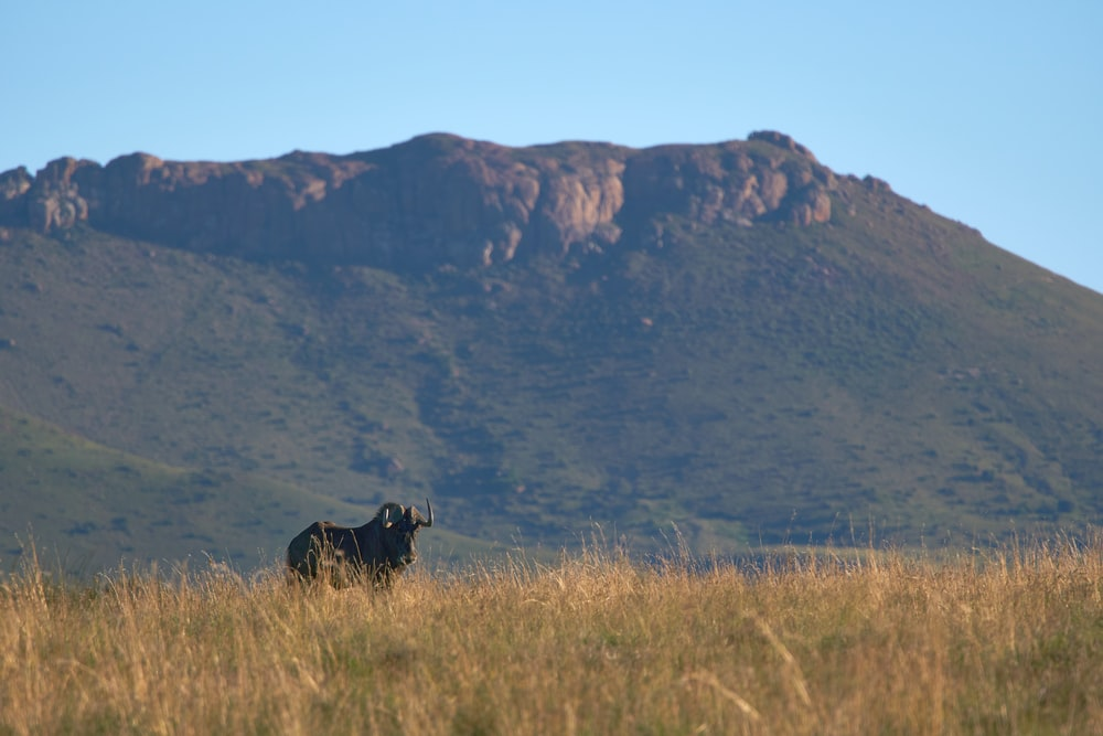 black cattle on brown grass during daytime