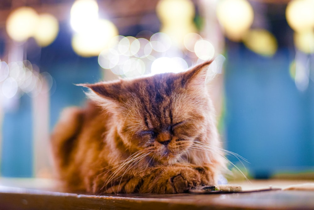 selective focus photography of lying down brown cat