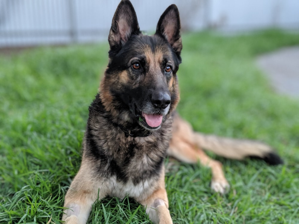 selective focus photography of German shepherd on green grass