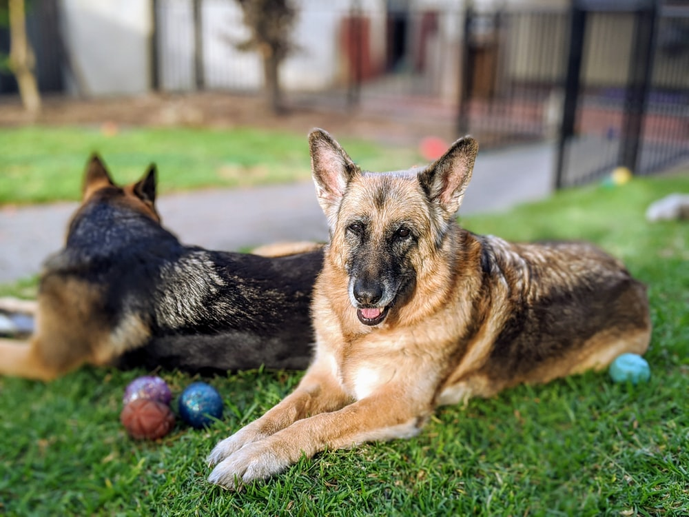 two adult black-and-tan German shepherds lying on grass beside balls