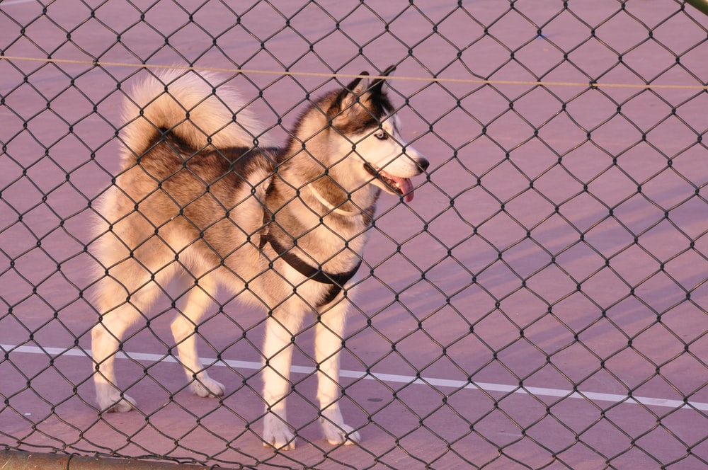 Siberian husky beside fence