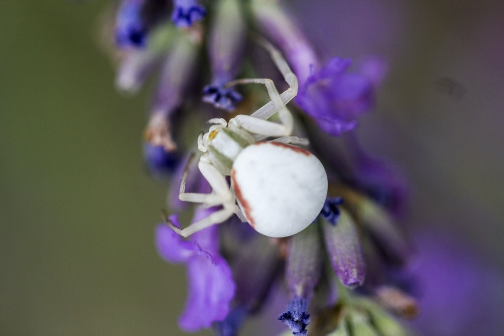 macro photography of white spider on purple flower