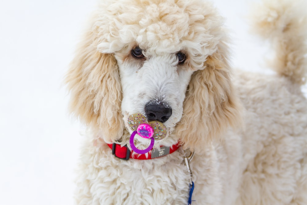 macro photography of white toy poodle